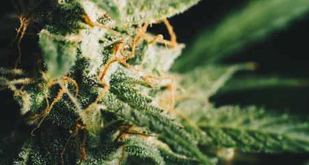 Benefits Of CBD Flower